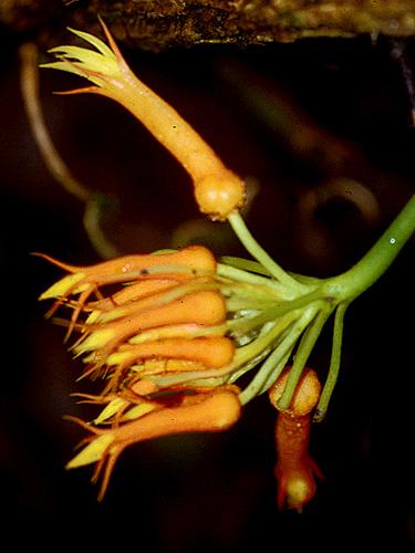 Specimen: Gurania tubulosa