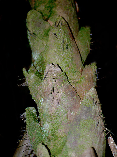 Espécimen: Astrocaryum alatum