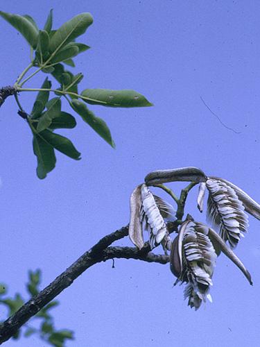 Espécime: Tabebuia insignis