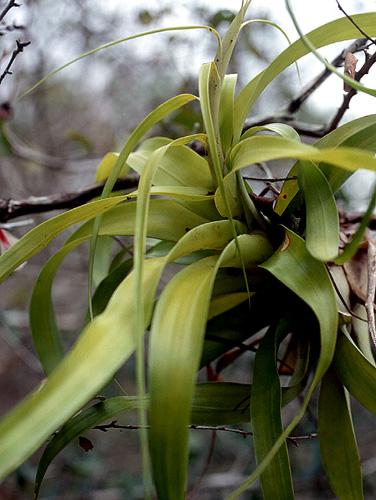 Specimen: Tillandsia elongata