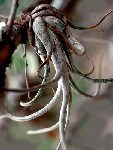 Specimen: Tillandsia recurvata