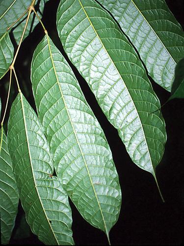 Specimen: Protium sagotianum