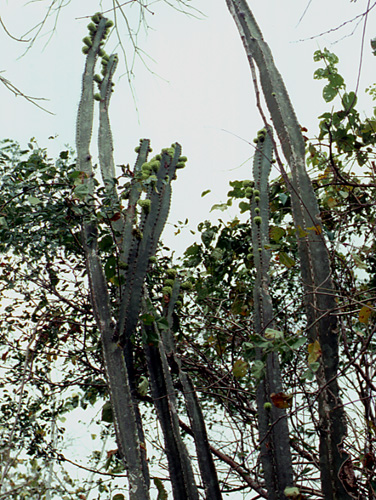 Espécimen: Pterocereus gaumeri