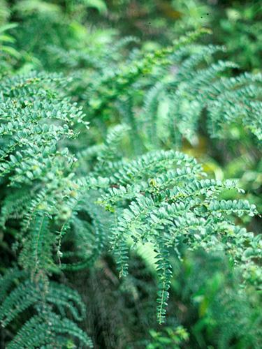 Specimen: Coriaria ruscifolia