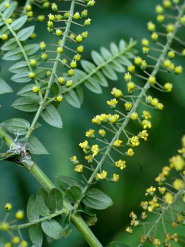 Espécimen: Coriaria ruscifolia
