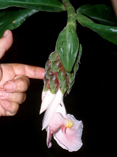 Specimen: Costus asplundii