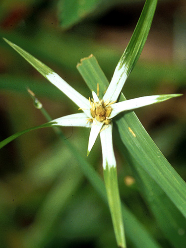 Specimen: Rhynchospora nervosa