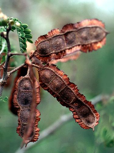 Specimen: Mimosa bahamensis