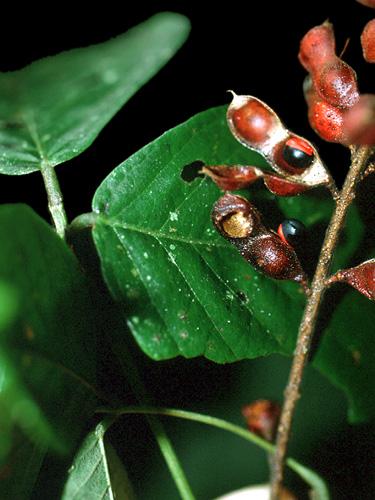 Specimen: Rhynchosia