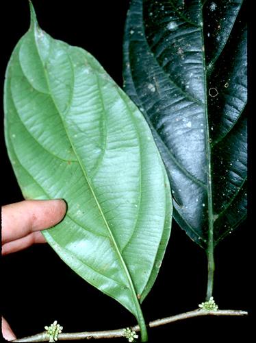 Specimen: Casearia pitumba