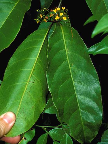 Specimen: Tontelea ovalifolia