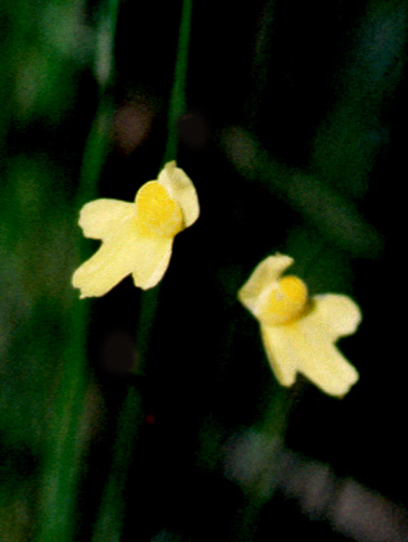 Espécimen: Utricularia subulata