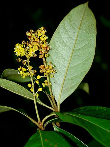 Specimen: Byrsonima crassifolia