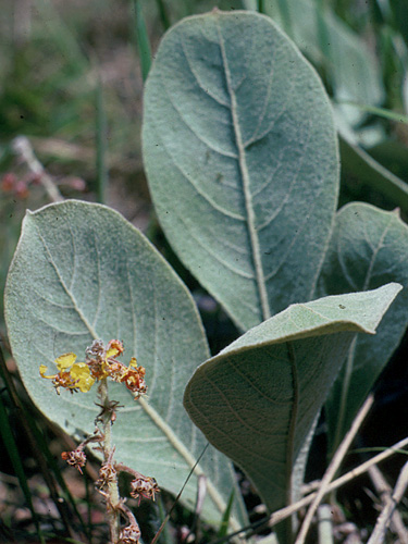 Espécime: Byrsonima verbascifolia