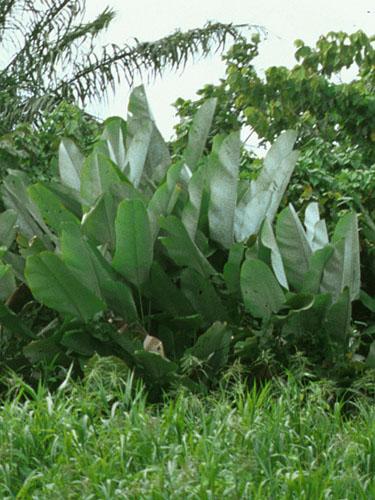 Espécimen: Calathea lutea