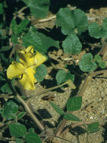 Specimen: Proboscidea altheifolia