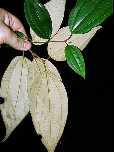 Specimen: Miconia stevensiana