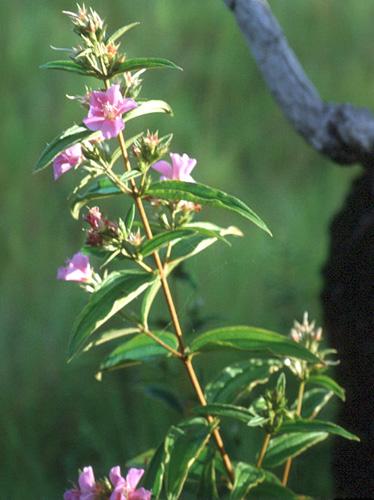 Specimen: Tibouchina geitneriana