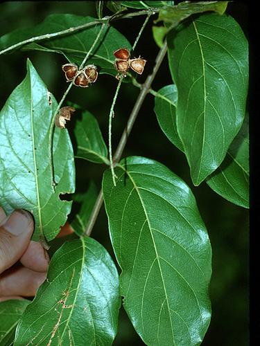 Specimen: Trigonia laevis