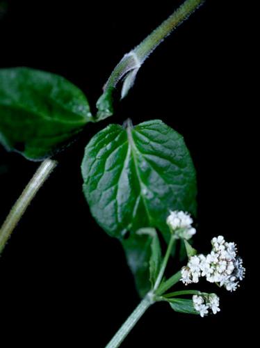 Specimen: Valeriana