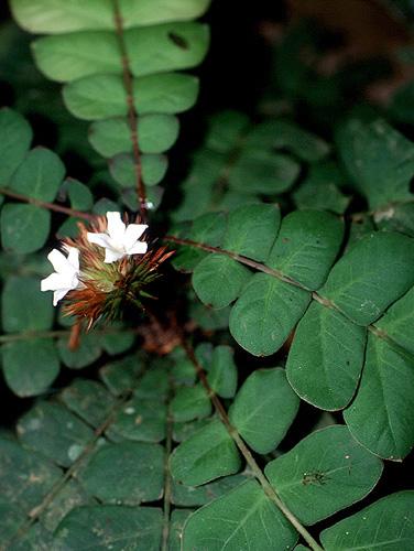 Espécimen: Biophytum