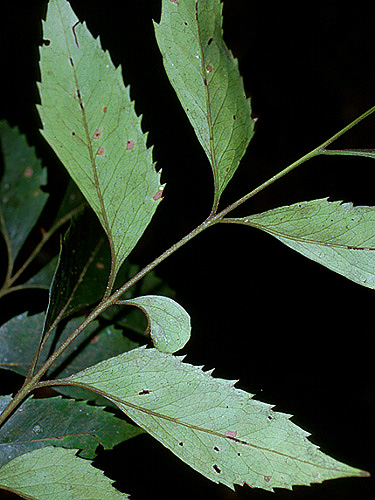 Specimen: Roupala montana
