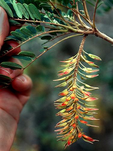 Espécimen: Alvaradoa amorphoides