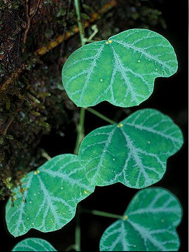Espécime: Passiflora
