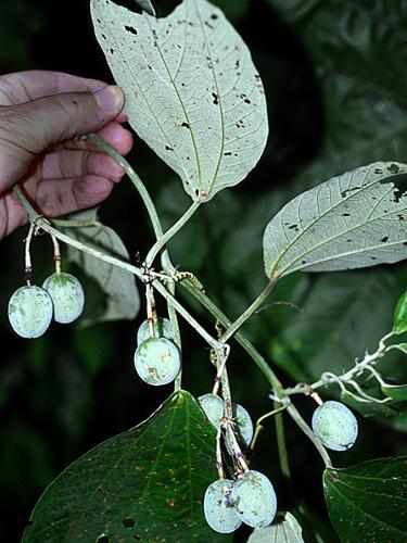 Specimen: Passiflora