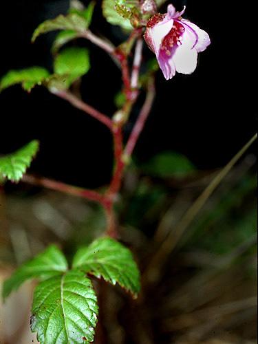 Specimen: Rubus