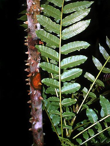 Espécimen: Zanthoxylum
