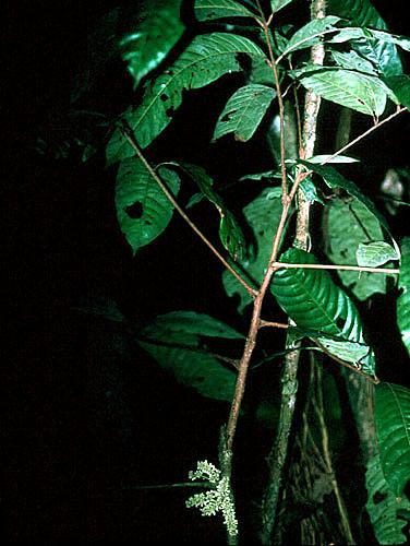 Specimen: Talisia hexaphylla