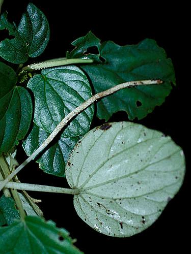 Specimen: Peperomia itayana