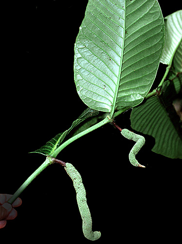 Specimen: Piper augustum