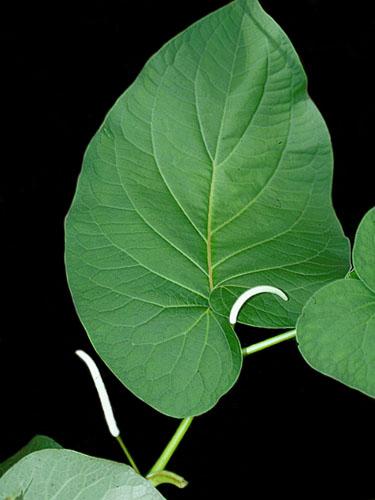 Specimen: Piper auritum