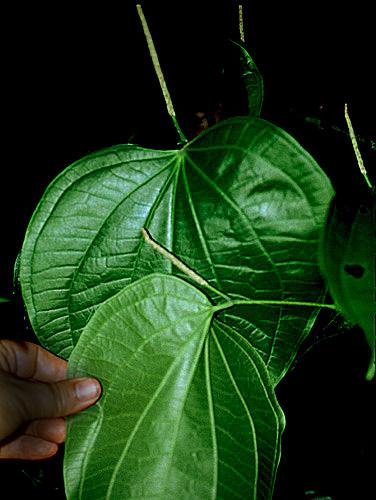 Specimen: Piper reticulatum