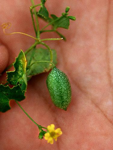 Specimen: Melothria scabra