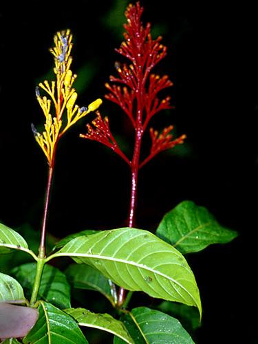 Specimen: Palicourea crocea