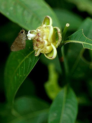 Specimen: Psychotria glomerulata