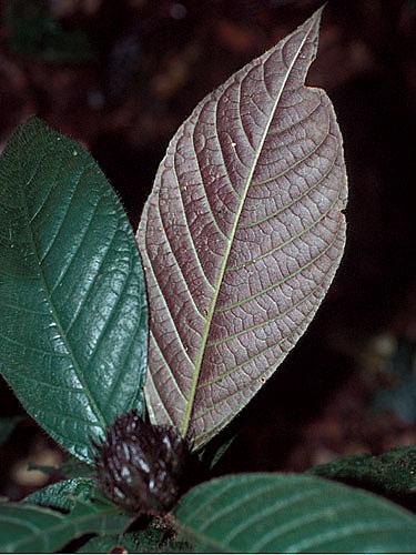 Specimen: Psychotria trichocephala