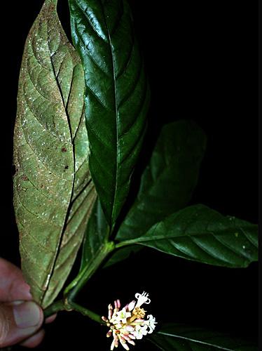 Specimen: Psychotria