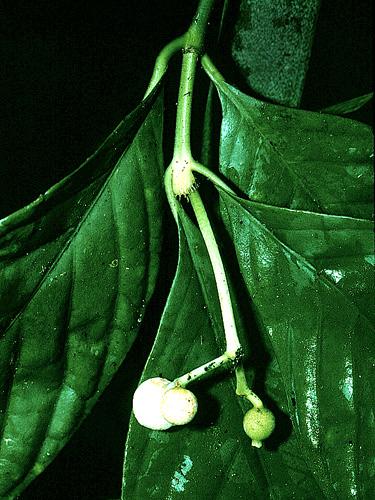 Specimen: Rudgea
