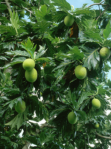 Specimen: Artocarpus altilis