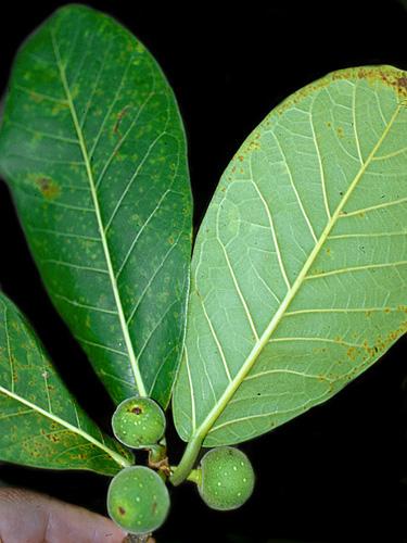 Specimen: Ficus