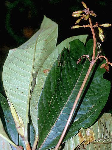 Specimen: Ferdinandusa