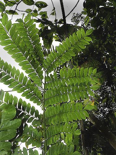 Specimen: Jacaranda macrocarpa