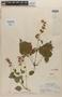 Salvia compsostachys Epling, Mexico, L. A. Kenoyer 342, Paratype, F