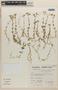 Cerastium glomeratum Thuill., Peru, S. Llatas Quiroz 3049, F