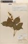 Amphilophium Kunth, BRAZIL, 3586, F
