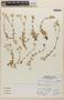 Cerastium glomeratum Thuill., Peru, A. Sagástegui A. 15151, F